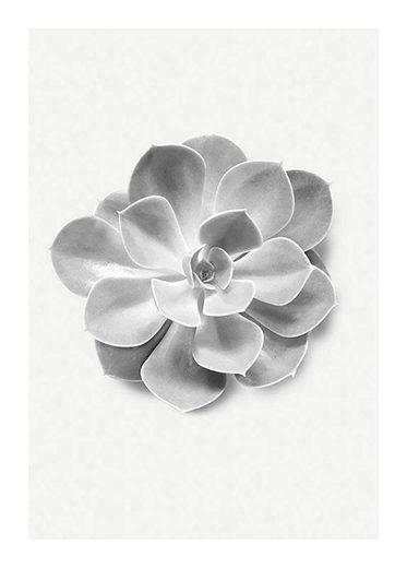 KOMAR XXL Poster »Succulent Aeonium«