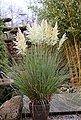 BCM Gräser »Pampasgras selloana mix (2 Sorten)« Spar-Set, Lieferhöhe ca. 60 cm, 2 Pflanzen, Bild 3