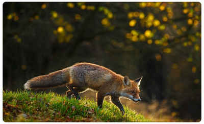 DesFoli Wandtattoo »Fuchs Natur Jagd R1075«