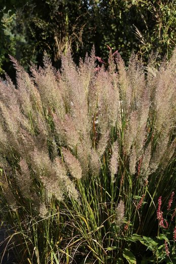 BCM Gräser »Reitgras brachytricha«, Lieferhöhe: ca. 40 cm, 3 Pflanzen