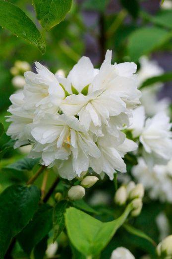 Hecke »Duft Jasmin Minnesota Snowflace«, Höhe: 30-40 cm, 10 Pflanzen