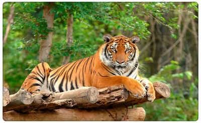 DesFoli Wandtattoo »Tiger Tier Wildnis R0096«