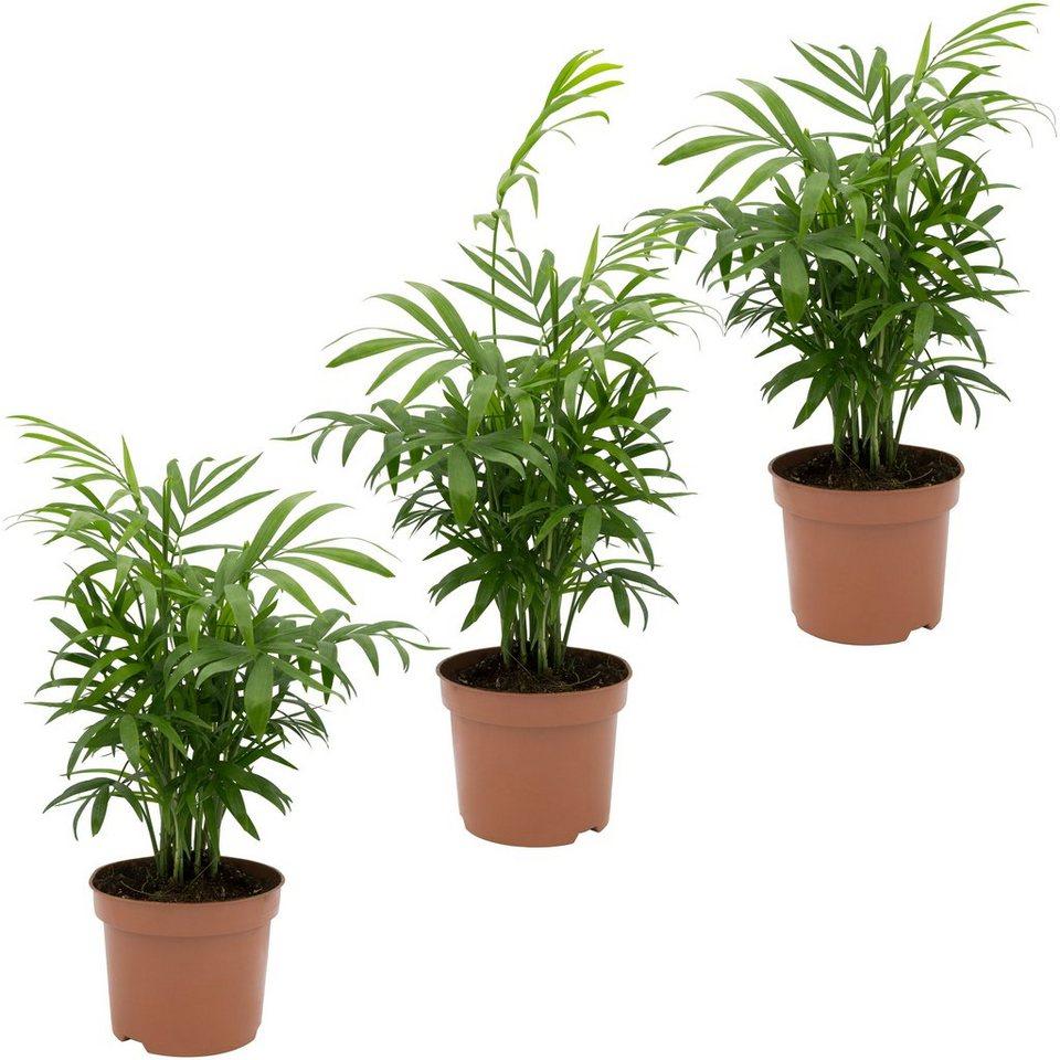 DOMINIK Zimmerpflanze »Palmen-Set«, Höhe: 30 cm, 3 Pflanzen online kaufen    OTTO