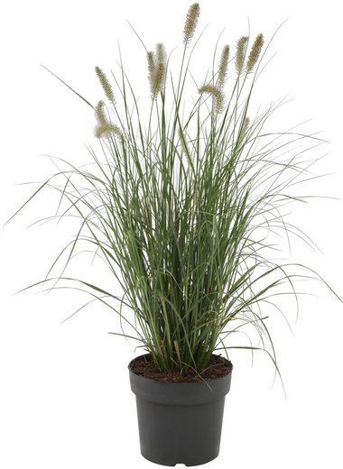 BCM Gräser »Lampenputzergras alopecuroides 'Hameln'« Spar-Set, Lieferhöhe ca. 40 cm, 3 Pflanzen