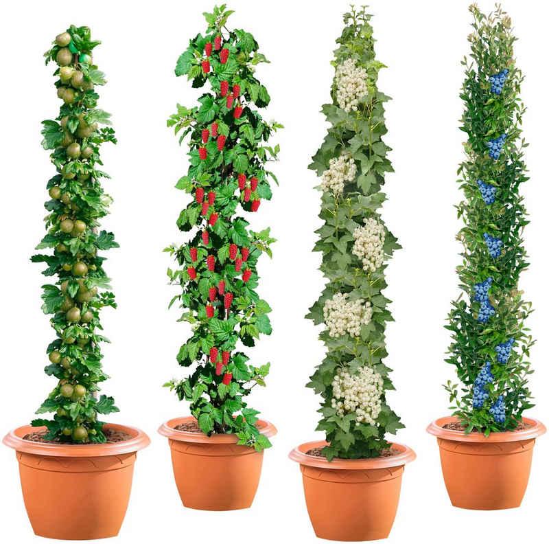 BCM Obstpflanze »Säulenobst 4er-Set«, Weiße Johannisbeere,Grüne Stachelbeere,Himbeere,Heidelbeere