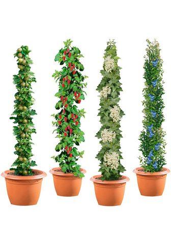 BCM Obstpflanze »Säulenobst 4er-Set« Weiße...