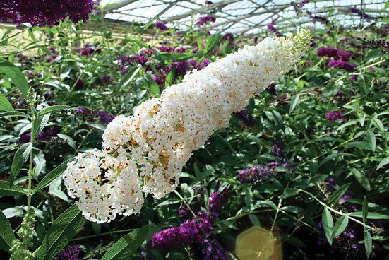 Flieder »Sommerflieder White Bouquet«, 3 Pflanzen