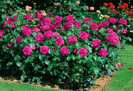 BCM Beetpflanze »Heidi Klum Rose®«