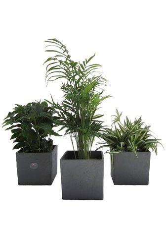 Dominik Zimmerpflanze »Palmen-Set« Höhe: 15 cm...
