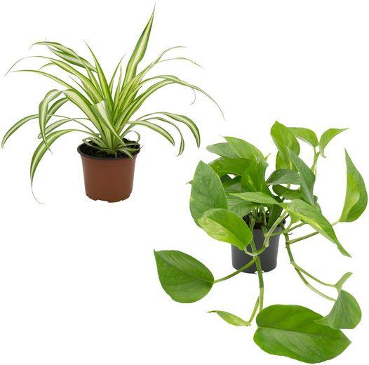 Dominik Zimmerpflanze »Grünpflanzen-Set«, Höhe: 30 cm, 2 Pflanzen