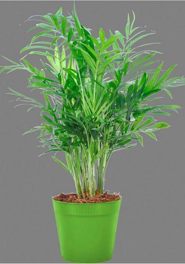 Zimmerpflanze »Bergpalme«