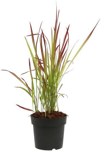BCM Gräser »Blutgras cylindrica 'Red Baron'« Spar-Set, Lieferhöhe ca. 60 cm, 3 Pflanzen