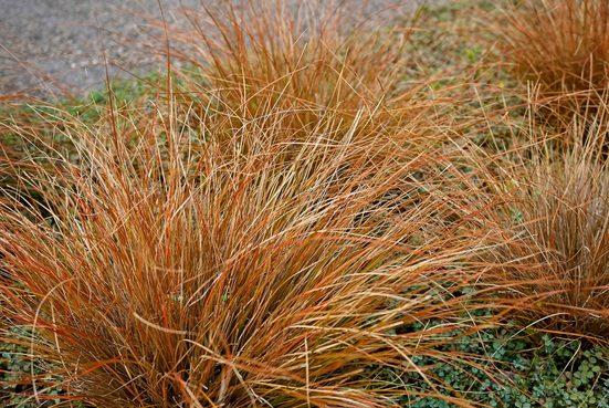 BCM Gräser »Segge brunnea 'Camara' ®« Spar-Set, Lieferhöhe: ca. 30 cm, 2 Pflanzen