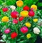 DOMINIK Blumenzwiebel »Ranunkeln«, 30 Шт, Frühjahrsblüher, Bild 3