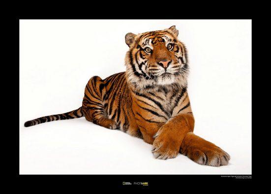 KOMAR Wanddekoration »Sumatran Tiger«