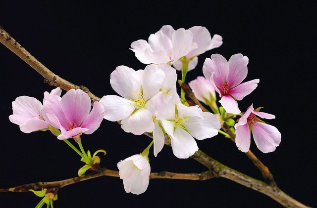 Home affaire XXL Poster, Cherry Blossom, 175/115 cm