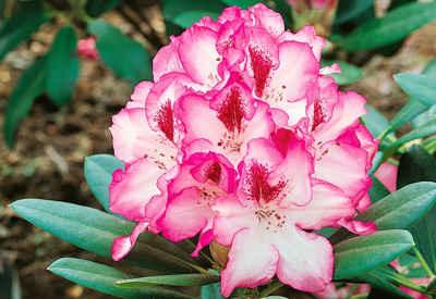 BCM Hecken »Rhododendron«, 4er-Set