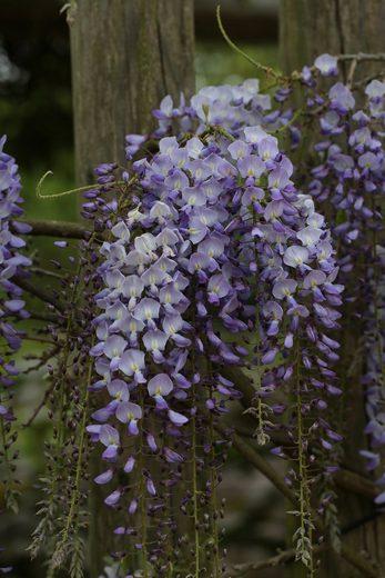 BCM Kletterpflanze »Blauregen 'Polific'«, Lieferhöhe: ca. 60 cm, 1 Pflanze
