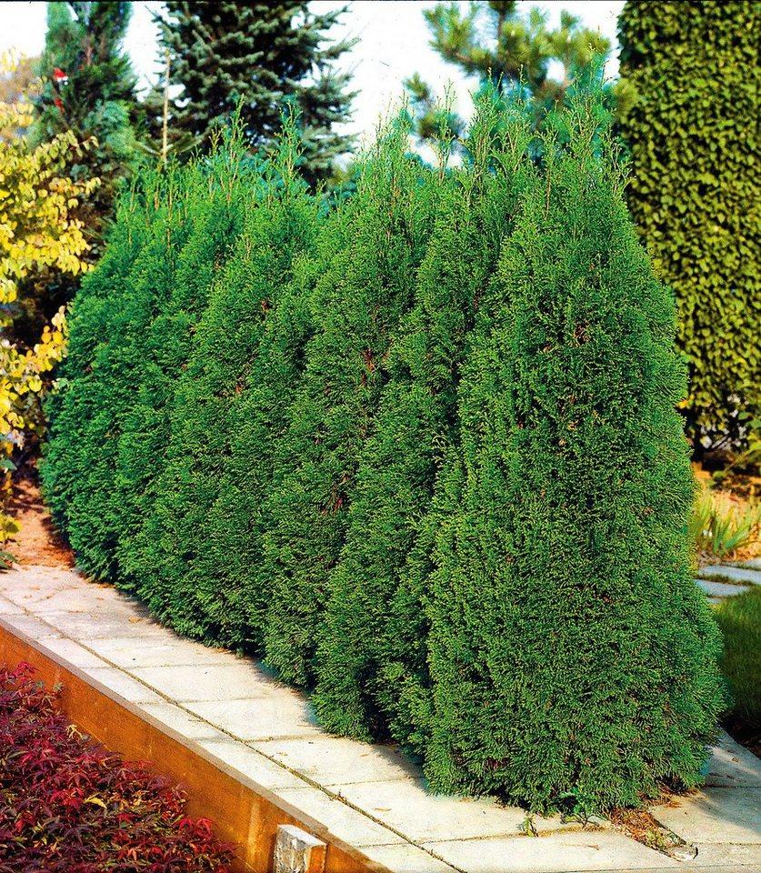 Bcm Hecke Lebensbaum Smaragd Pflegeleichte Beliebte