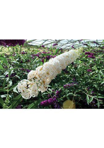 BCM Staude »Sommerflieder White Bouquet« 3...