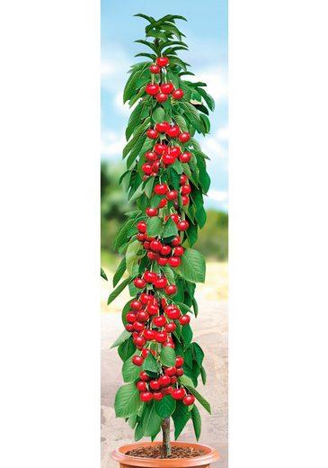 BCM Obstpflanze »Säulenobst Kirsche Siberia«