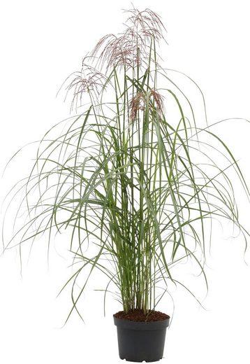 BCM Gräser »Chinaschilf sinensis 'Malepartus'« Spar-Set, Lieferhöhe ca. 60 cm, 2 Pflanzen