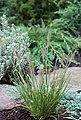 BCM Gräser »Lampenputzergras alopecuroides 'Little Bunny'« Spar-Set, Lieferhöhe ca. 40 cm, 3 Pflanzen, Bild 2