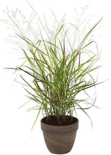 BCM Gräser »Rutenhirse virgatum 'Cheyenne Sky'« Spar-Set, Lieferhöhe ca. 40 cm, 3 Pflanzen