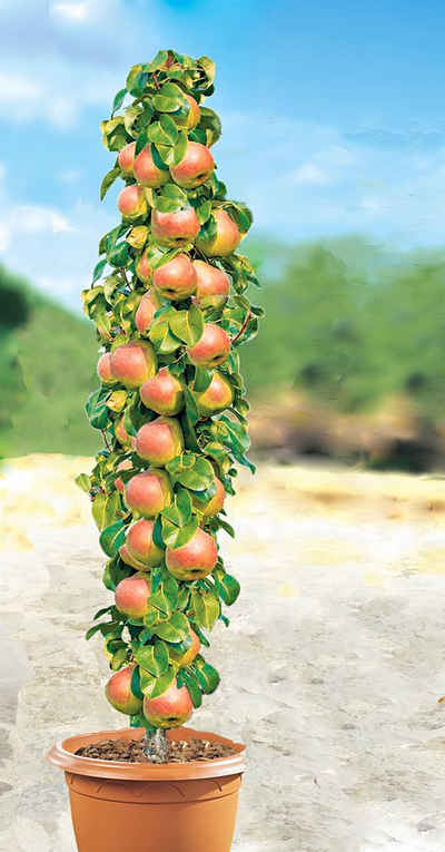 BCM Obstpflanze »Säulenobst Birne Decora«