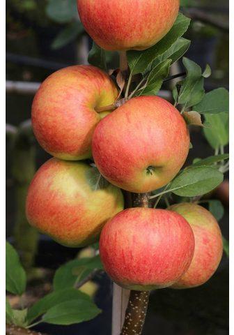 BCM Obstbaum »Apfel Elstar« 150 cm Lieferh...