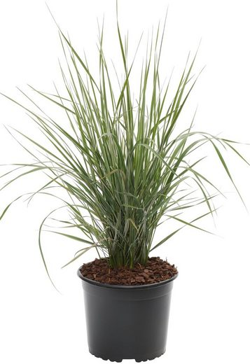 BCM Gräser »Reitgras brachytricha«, Lieferhöhe: ca. 40 cm, 1 Pflanze