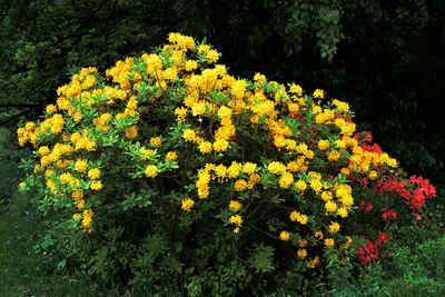 BCM Hecken »Rhododendron Azalee Pontica« Set