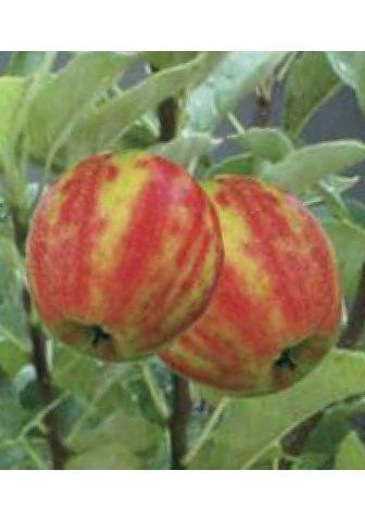 BCM Obstbaum »Apfel Karneval« 40 cm Liefer...