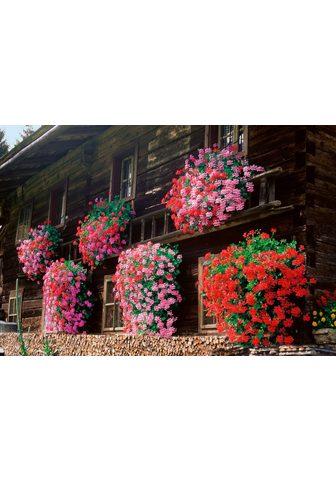 BCM Balkonpflanze »Geranie hängend«
