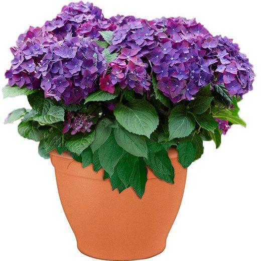 BCM Gehölze »Hortensie Deep Purple Dance«
