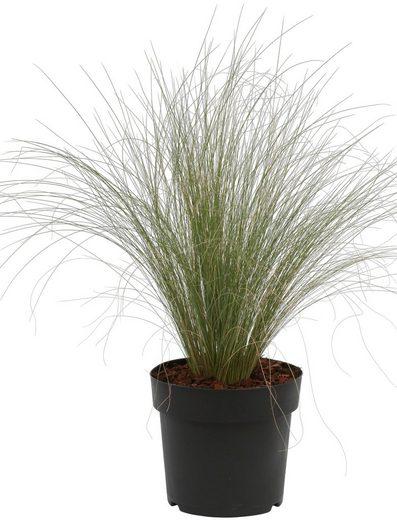 BCM Gräser »Stipa tenuissima Pony Tails« Spar-Set, Lieferhöhe: ca. 25 cm, 2 Pflanzen