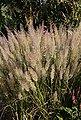 BCM Gräser »Reitgras brachytricha«, Lieferhöhe: ca. 40 cm, 2 Pflanzen, Bild 1