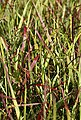 BCM Gräser »Rutenhirse virgatum 'Cheyenne Sky'« Spar-Set, Lieferhöhe ca. 40 cm, 2 Pflanzen, Bild 1