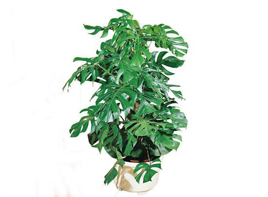 BCM Zimmerpflanze »Fensterblatt«