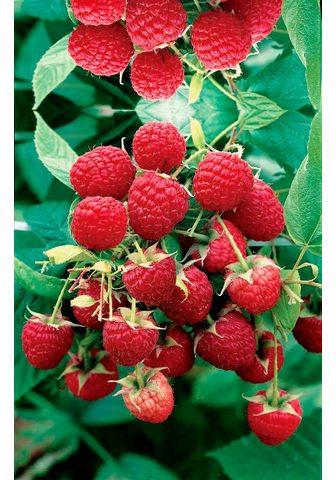 BCM Obstpflanze »Himbeere Zefa Herbsternte...