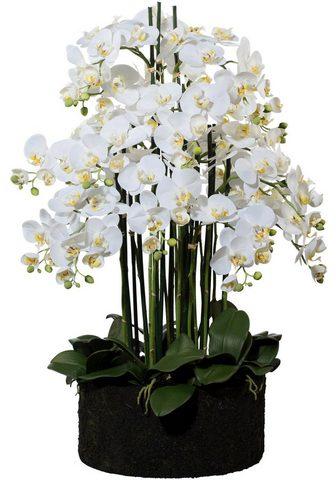 Creativ green Kunstorchidee »Phalaenopsis« aukštis 9...