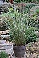 BCM Gräser »Reitgras brachytricha«, Lieferhöhe: ca. 40 cm, 1 Pflanze, Bild 2