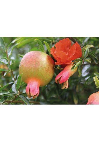 BCM Obstpflanze »Granatapfel Favorite« 50 ...