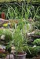 BCM Gräser »Chinaschilf x gigantheus« Spar-Set, Lieferhöhe ca. 60 cm, 3 Pflanzen, Bild 2