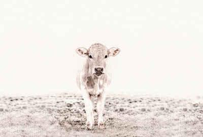 living walls Fototapete »ARTist Highland Cattle«, (Set, 4 St), Kuh Rind, Vlies, glatt