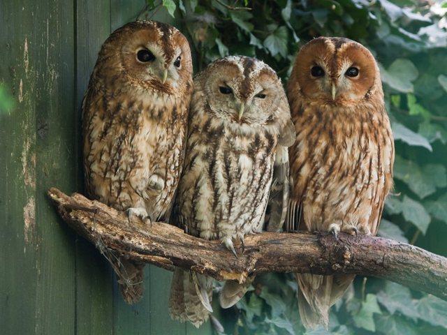 PAPERMOON Fototapete »Tawny Owls«, Vlies, in verschiedenen Größen | Baumarkt > Malern und Tapezieren > Tapeten | Papermoon