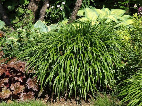 BCM Gräser »Japangras macra 'Greenhills'« Spar-Set, Lieferhöhe ca. 30 cm, 2 Pflanzen