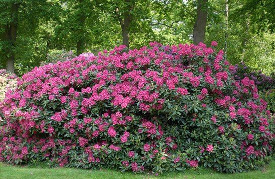 BCM Gehölze »Rhododendron Catawbiense Grandiflorum«, Höhe: 30 cm, 1 Pflanze