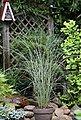 BCM Gräser »Chinaschilf sinensis 'Morning Light'« Spar-Set, Lieferhöhe ca. 60 cm, 2 Pflanzen, Bild 2