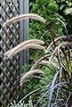 BCM Gräser »Lampenputzergras x advena 'Rubrum'« Spar-Set, Lieferhöhe ca. 40 cm, 3 Pflanzen, Bild 3